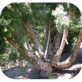 O.E. TEA TREE 20ml
